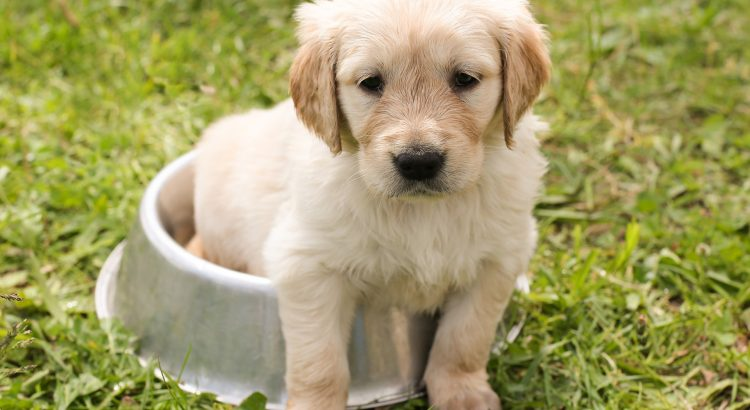 online puppytraining cursus volgen